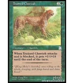 Trained Cheetah